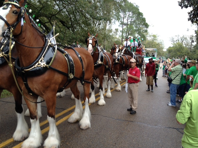 Clydesdales line up for parade